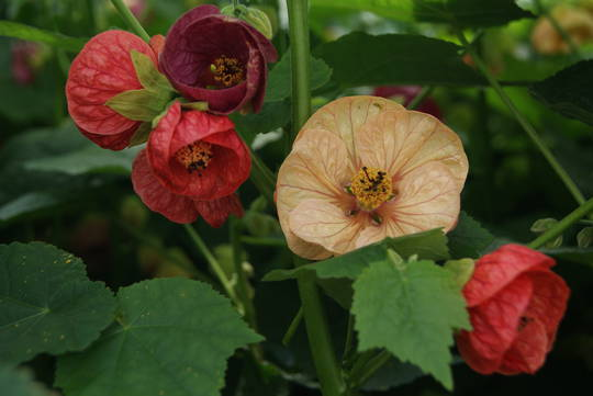 Abutilon Chinese Lanterns