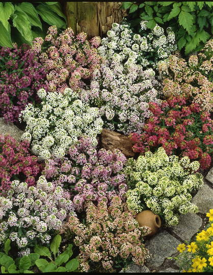 Alyssum Painter's Palette