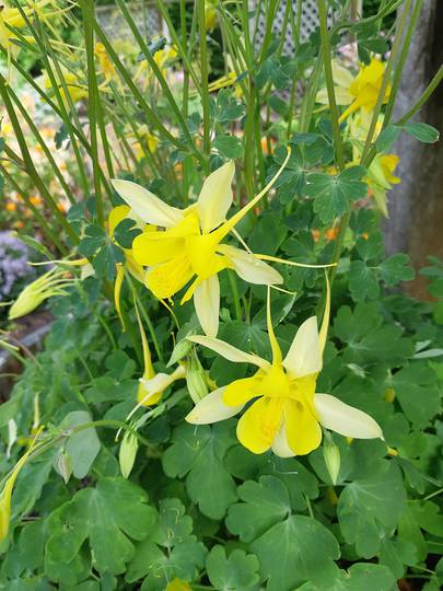 Aquilegia Yellow Star