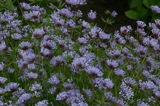 Asperula Sweet Blue Woodruff