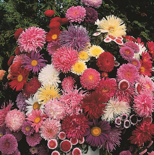 Aster Cut Flower Assortment