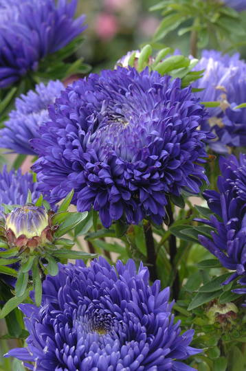 Aster King Size Blue