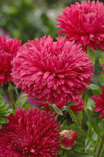 Aster King Size Red