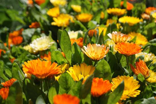 Calendula Dwarf Colours Mixed
