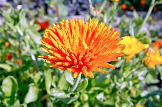 Calendula Orange Porcupine