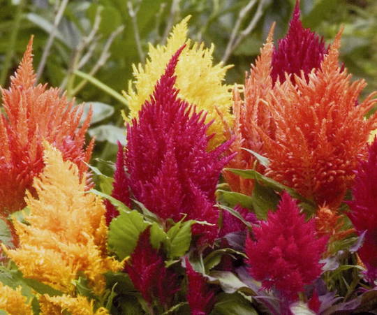 Celosia Fresh Look Mix