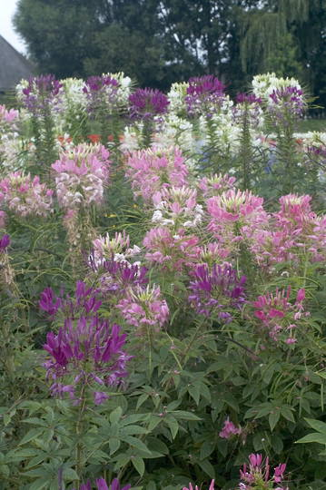 Cleome mixed