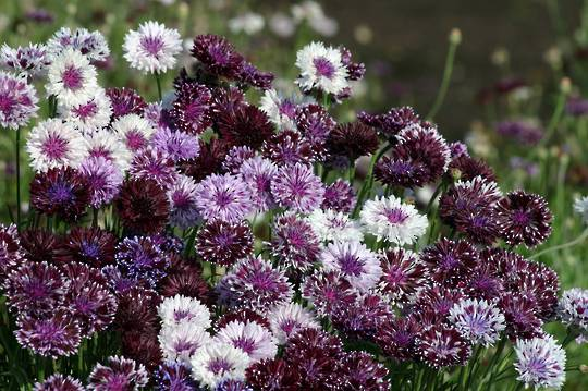 Cornflower Classic Magic Mix