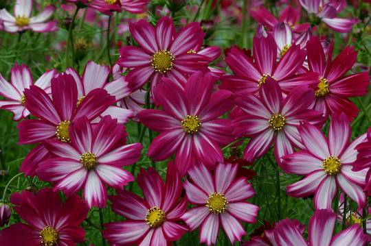 Cosmos Cosimo Red White