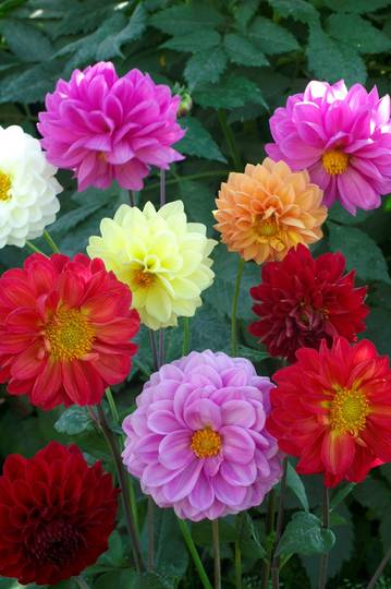 Dahlia Showpiece Giants