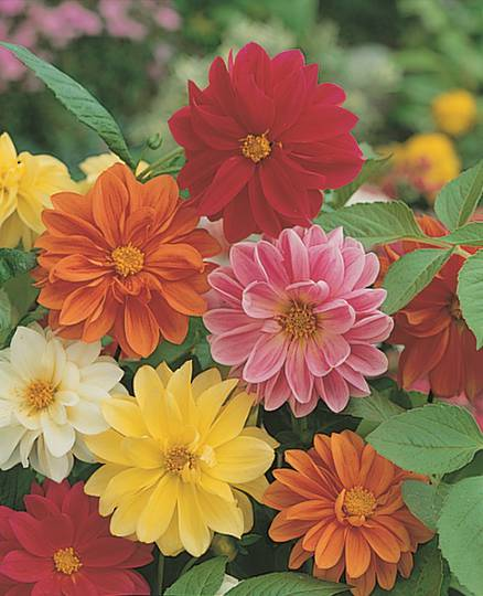 Dahlia Unwins Ideal Bedding Mix