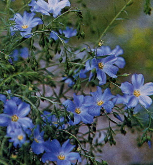 Flax Flowering Sky Blue