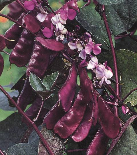 Hyacinth Bean Vine