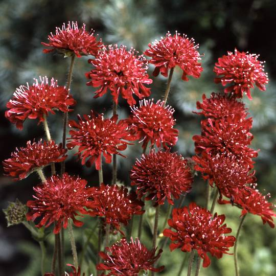 Knautia Red Cherries