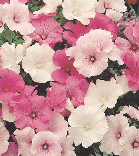 Lavatera Parade mixed