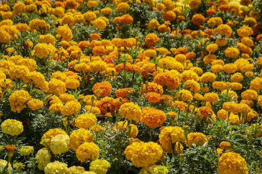 Marigold Citrus Bedding Mix