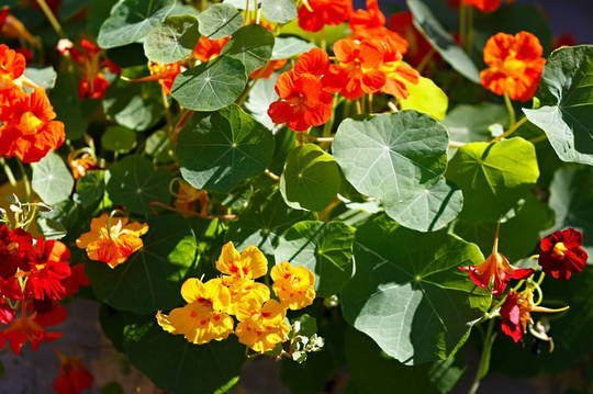 Nasturtium Tall Trailing Mixed