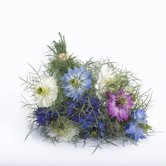 Nigella Love in a Mist