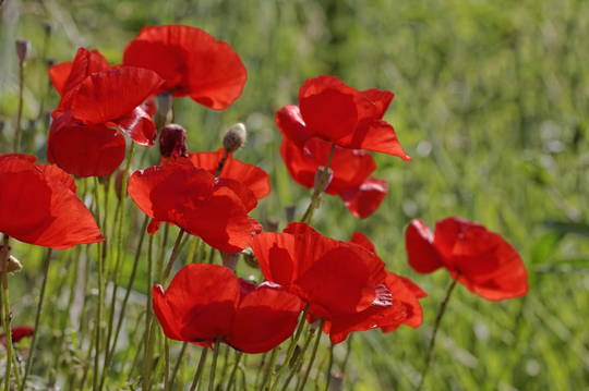 Corn Poppy Flanders Red