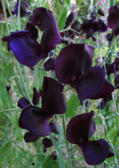 Sweet Pea Almost Midnight