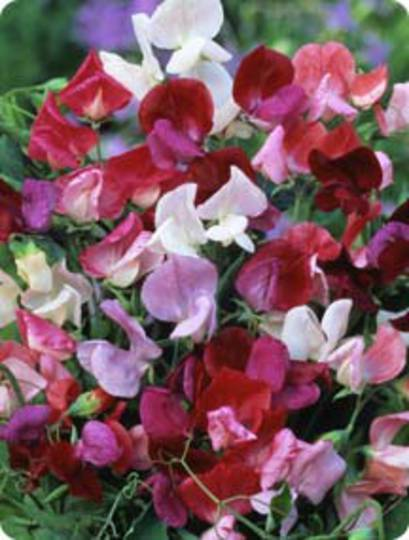 Sweet Pea Old Spice Antiques Mix