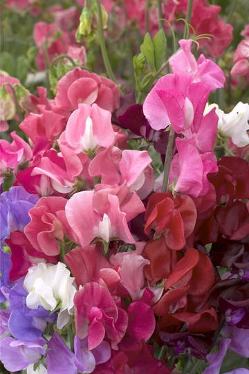 Sweet Pea Winter Elegance
