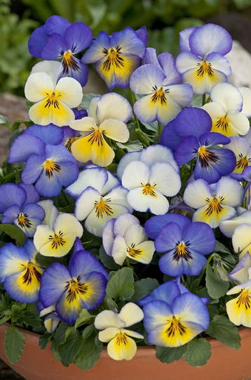 Viola Cool Summer Breeze