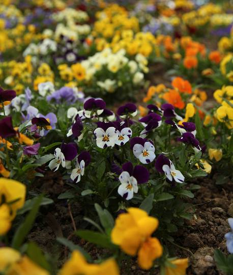 Viola Edible Flower Mix
