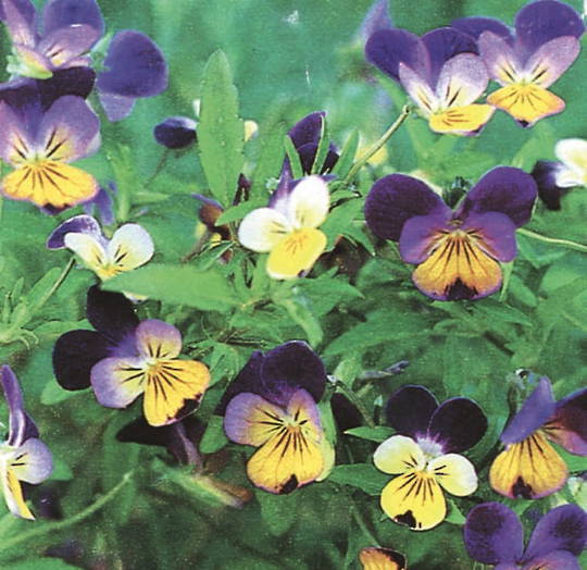 Viola Heartsease Miss Helen Mount