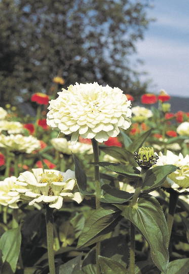 Zinnia Giant White