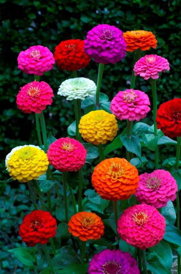Zinnia Lilliput mixture