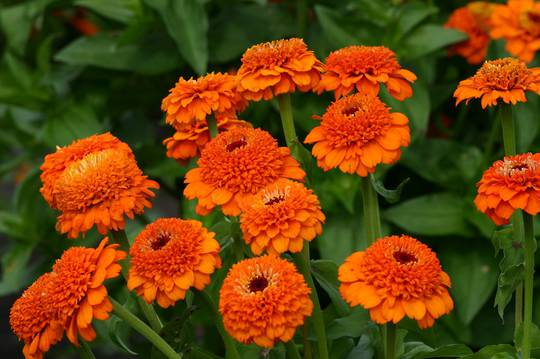 Zinnia Zinderella Orange