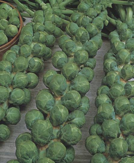 Organic Brussels Sprouts Igor F1