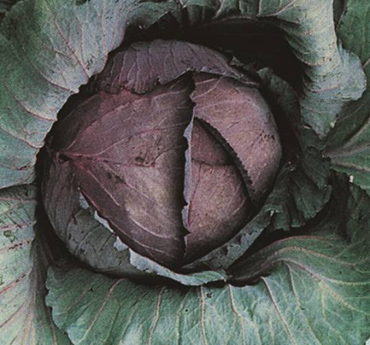Organic Cabbage Red Express