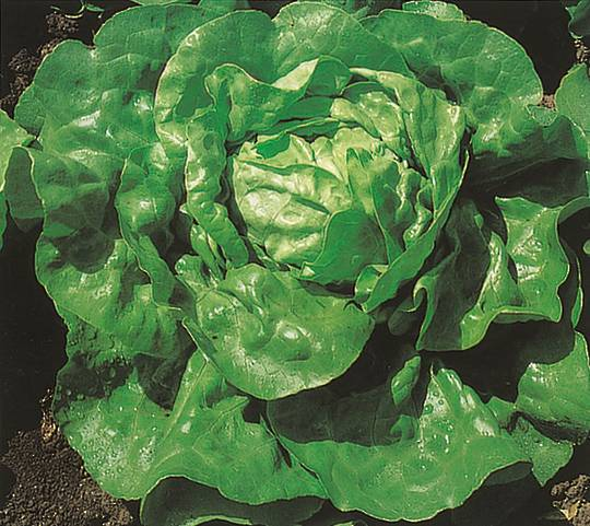 Organic Lettuce Summer Queen