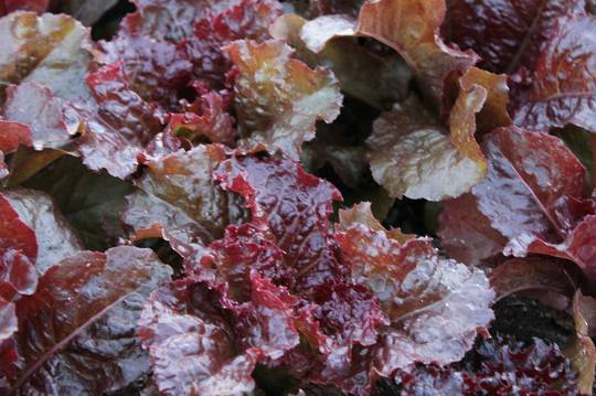 Organic Lettuce Red Flame