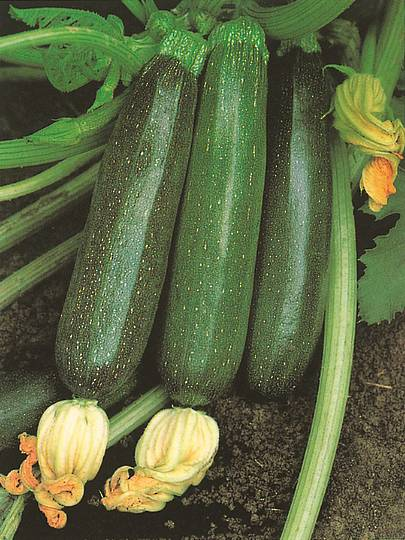 Organic Zucchini Black Beauty