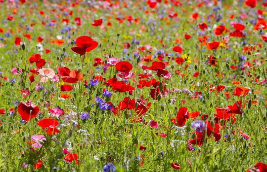 Poppy Fields of Colour