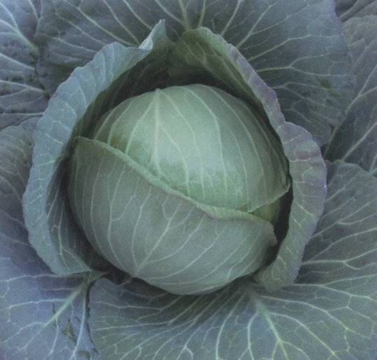 Cabbage Green Ball F1