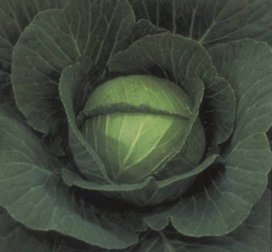 Cabbage Space Saver F1