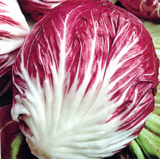 Chicory Fancy