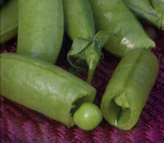 Pea Sugar Snap Tall  (T)