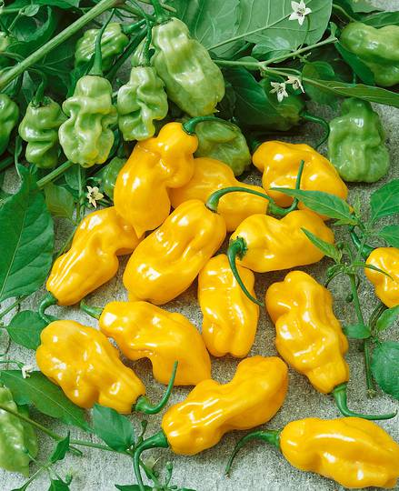 Chilli Habanero Sweet Yellow