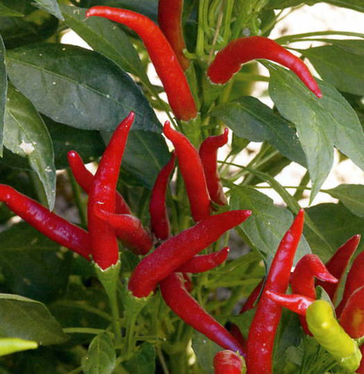 Chilli Thai Super Chilli F1