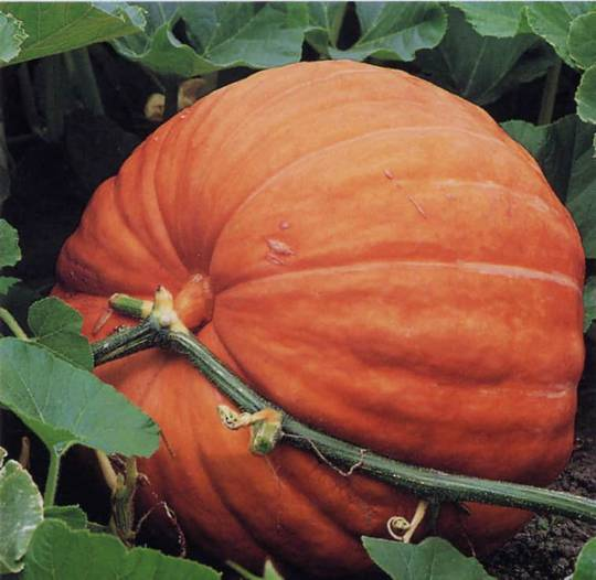 Pumpkin Atlantic Giant