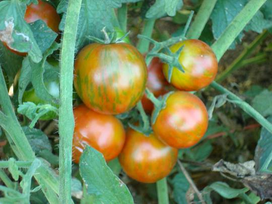 Tomato Black Cherry Striped