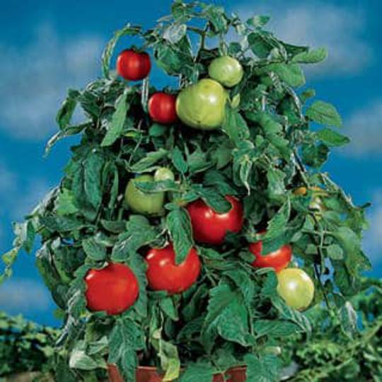 Tomato Container Choice Red F1