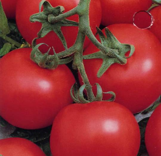 Tomato Early Doll F1