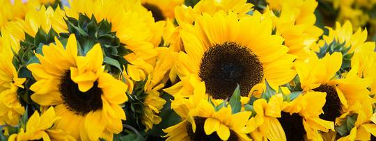 Sunflower Mix n Match