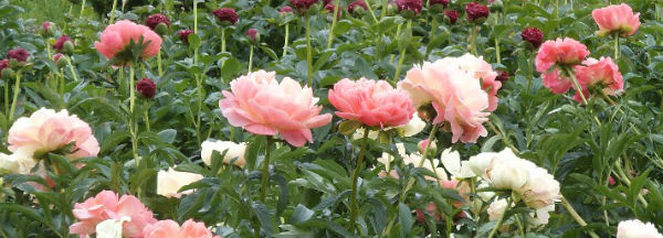 Peonies Poppies